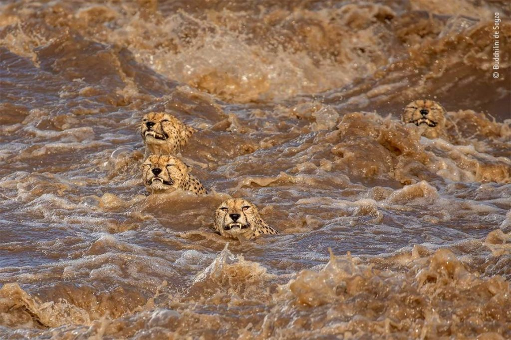 The Great Swim by Buddhilini de Soyza was Highly Commended in the 2021 Behaviour: Mammals category